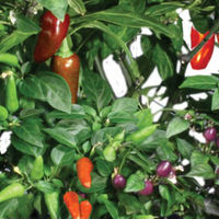 AeroGarden - Chili Pepper Seed Kit - Includes (2) Jalapeno Pepper, (2) Red Fire, and (3) Purple Super Hot Seed Pods - AERO509