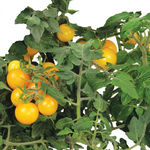 AeroGarden - Golden Harvest Cherry Tomato Seed Kit Image